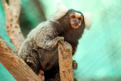 Common Marmoset Royalty Free Stock Photography