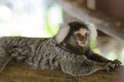 Common marmoset Stock Image