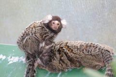 Common marmoset Royalty Free Stock Photos