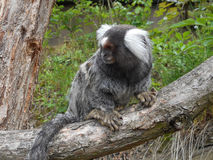 Common marmoset. Cute common marmoset on the branch Stock Photos