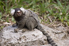 Common Marmoset on the floor Royalty Free Stock Images