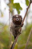Common marmoset Royalty Free Stock Photos
