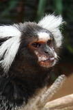 Common Marmoset pokes out tongue Royalty Free Stock Image