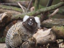 Common marmoset Stock Images