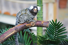 Common marmoset sitting on tree branch Royalty Free Stock Photos