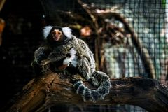 Common marmoset small monkey in the zoo royalty free stock photography