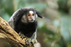 Common marmoset Stock Images