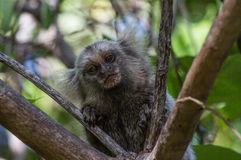 Common Marmoset in tree Royalty Free Stock Image