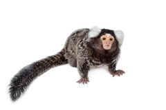 The common marmoset on white Royalty Free Stock Image