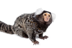 The common marmoset on white Royalty Free Stock Images