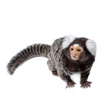 The common marmoset on white Stock Image