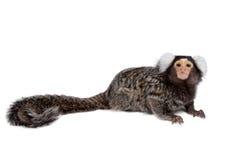 The common marmoset on white Stock Photography