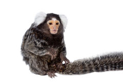The common marmoset on white Royalty Free Stock Photography