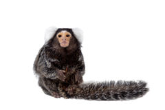 The common marmoset on white Stock Photography