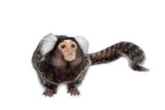 The common marmoset on white Royalty Free Stock Image