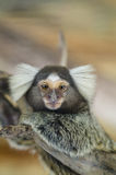Common marmoset or White-eared marmoset (Callithrix jacchus); Ne. Common marmoset, Callithrix jacchus, single mammal on branch, Brazil Stock Image