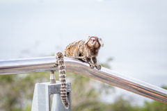 Common marmoset or White-eared marmoset Stock Images
