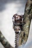 Common marmoset or White-eared marmoset Stock Photo