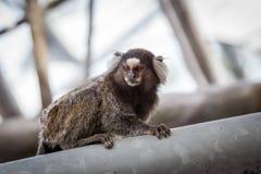 Common marmoset or White-eared marmoset Royalty Free Stock Photo