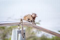 Common marmoset or White-eared marmoset Royalty Free Stock Photography