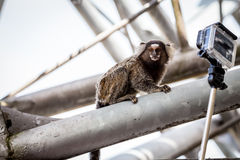 Common marmoset or White-eared marmoset Royalty Free Stock Images