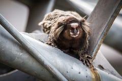 Common marmoset or White-eared marmoset Stock Photos