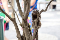 Common marmoset or White-eared marmoset Royalty Free Stock Image