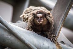 Common marmoset or White-eared marmoset Stock Image