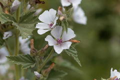 Common marsh mallow, Althaea officinalis. Flower of a Common marsh mallow, Althaea officinalis Royalty Free Stock Images
