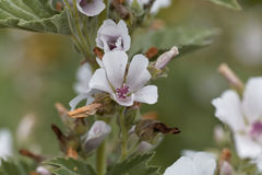 Common marsh mallow, Althaea officinalis. Flower of a Common marsh mallow, Althaea officinalis Royalty Free Stock Photo