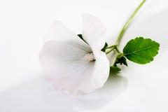 Common marshmallow, blossom Royalty Free Stock Photos