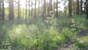 Common meadow-grass panicles blown by wind in forest stock video footage