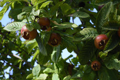 Common Medlar fruit Royalty Free Stock Images