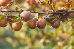 Common medlar fruit Royalty Free Stock Images