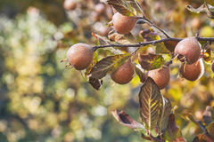 Common medlar fruit Royalty Free Stock Photo