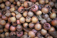 Common medlar Mespilus germanica, healthy organic food from nature, medlar. fresh organic medlars background texture. fruit. Common medlar Mespilus germanica stock photography