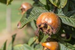 Common medlars on a tree Stock Photos
