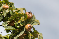 Common medlars on a tree Royalty Free Stock Images