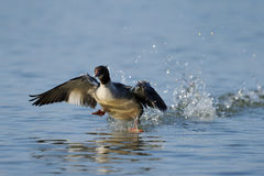 Common Merganser Stock Photography