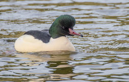 Common Merganser Royalty Free Stock Images