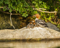 Common Merganser Brood resting on a rock Stock Photos