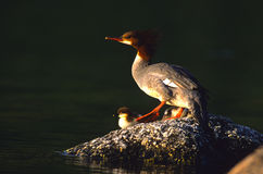 Common Merganser and Chick Stock Photo