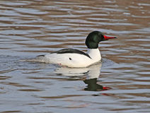 Common Merganser Drake Stock Photo