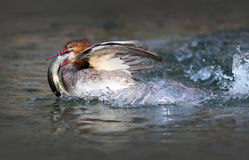 Common Merganser Duck With a Fish. Common Merganser Duck Flapping his Wings in a Creek royalty free stock photos