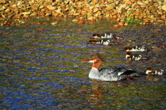 Common Merganser Duck. The common Merganser family, a female duck and duckling, surfing the rapids along the Merced river in Yosemite Valley National Park in stock photography