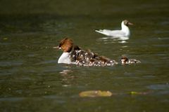 Common merganser Royalty Free Stock Image