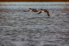 Common merganser females flying over water. Common merganser Mergus merganser females flying over water. Teamwork of wings. Flight over water screen Stock Photography