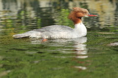 Common merganser Royalty Free Stock Photography