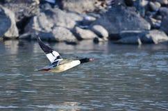 Common Merganser Flying Low Over The River Stock Photos