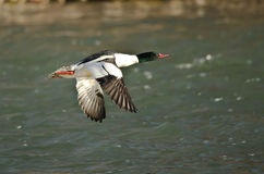 Common Merganser Flying Low Over the River Royalty Free Stock Image